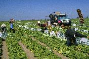 field harvesting and packing of crisphead lettuce