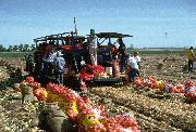 field packing sweet imperial onions