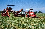 mechanical harvest of processing tomato